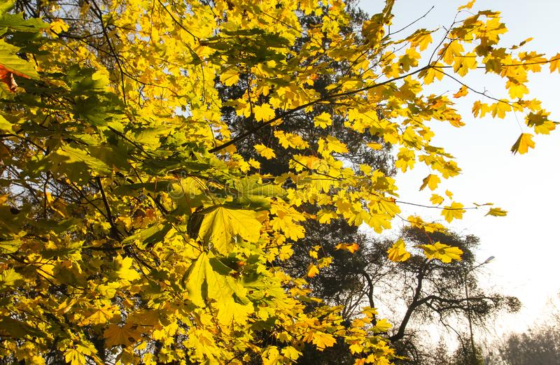 Yellow leaves on the autumn tree in the park. Sun and sky on the background. Nature  fall seasonal photo. Colorful trees branches.  royalty free stock photography