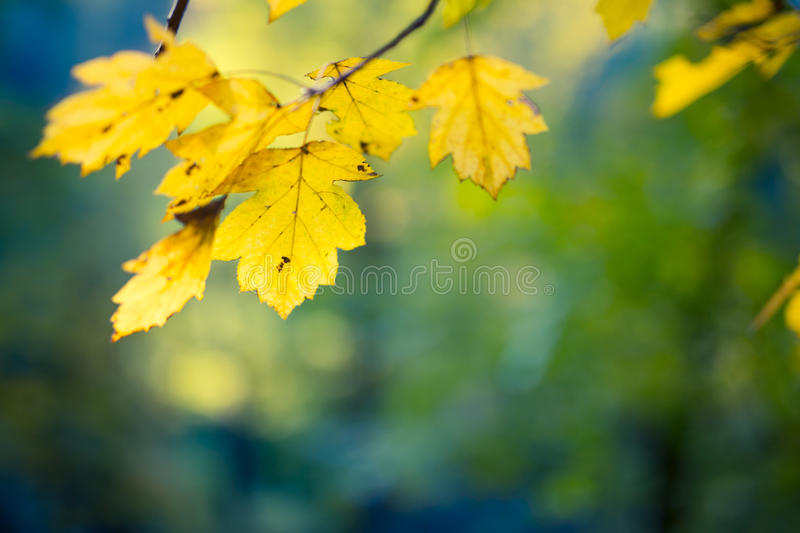 Yellow leaves. Beautiful autumn closeup yellow leaves on an green and blue blurred background stock images