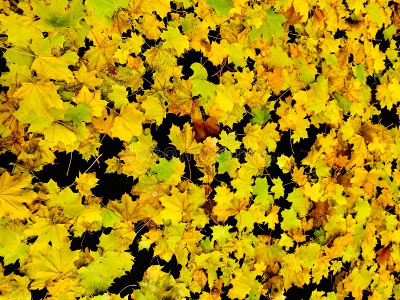 Yellow leaves on black background stock image