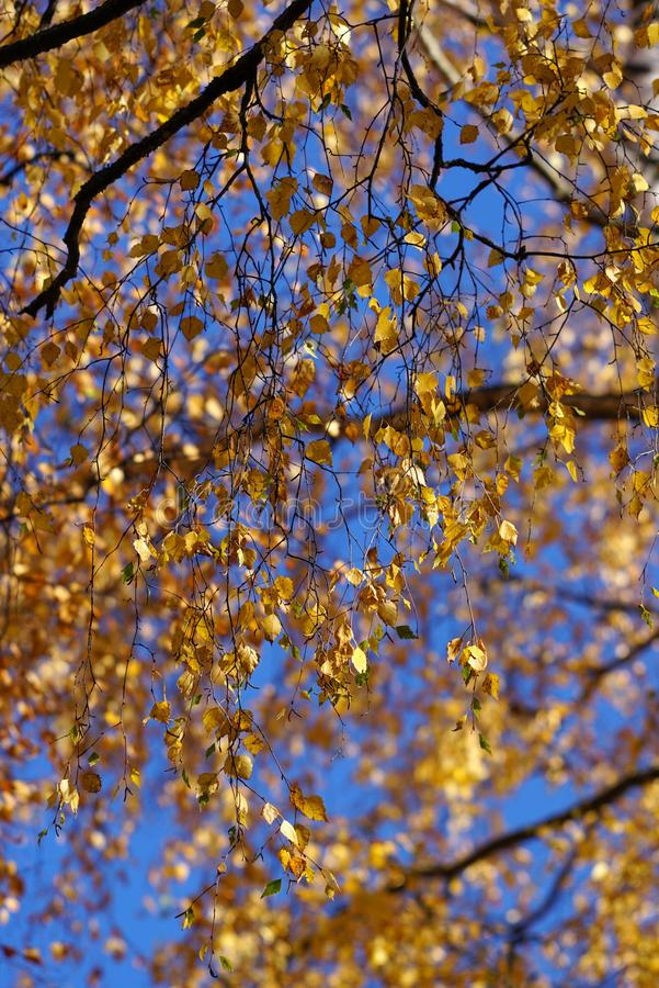 Yellow leaves on birch trees. Yellow leaves on branches of birch trees on a sunny late autumn day in the forest stock photography