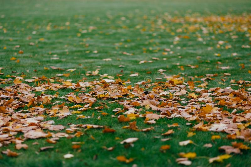 Yellow Leaves cover green ground can be used as abstract textured colourful nature background. Autumn and season concept stock photo