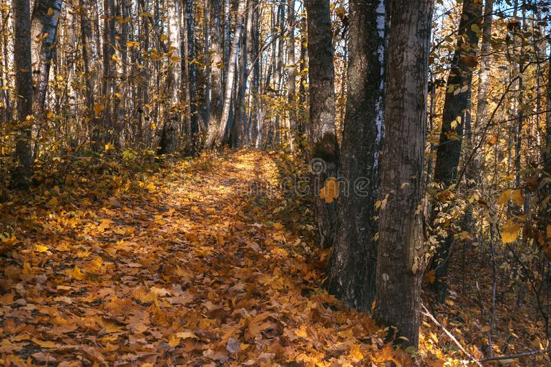 Yellow leaves fall to the in the autumn. Forest Road. nature trail of the traveler. Sunny day in the woods. Open-air walks. Yellow leaves fall. Forest Road stock image