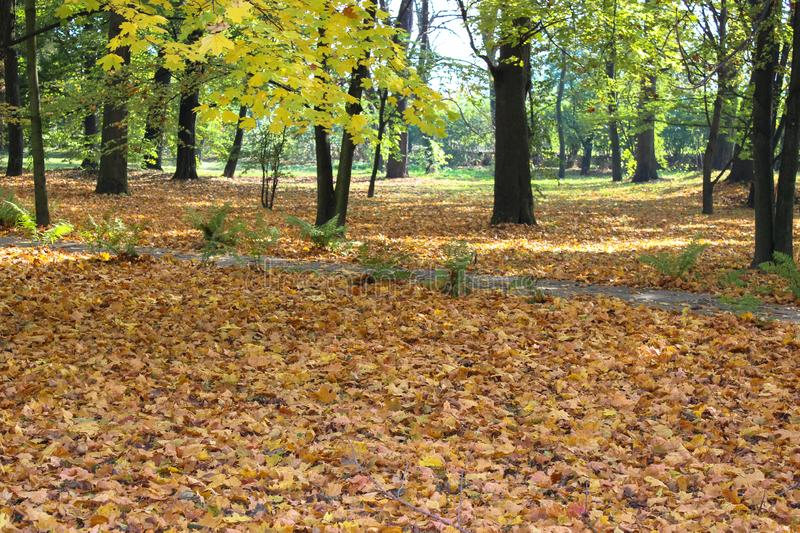 Yellow leaves that fall from trees. Wonderful landscape. Of the autumn park royalty free stock photos