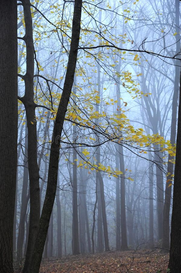 Yellow leaves in foggy winter woods stock image