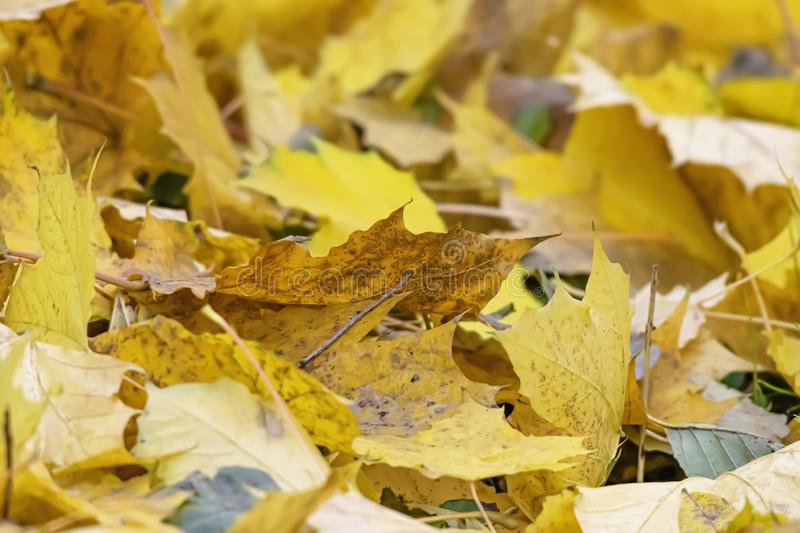 Yellow leaves on forest floor, on sunny autumn day royalty free stock images