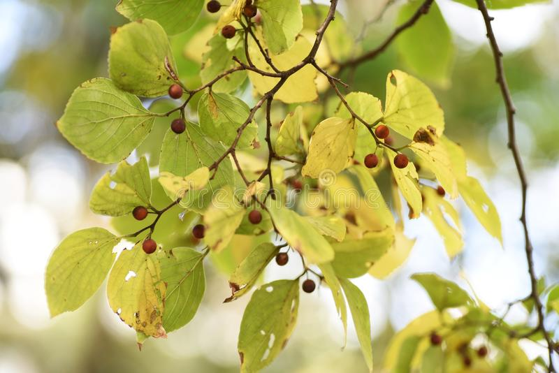 Yellow leaves and fruits of Hackberry Nettle tree. Hackberry Nettle tree blooms small flowers at the base of leaves in spring and attaches small spherical edible stock photo