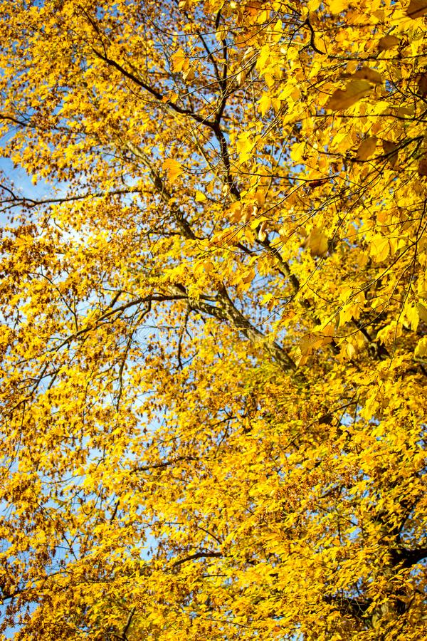 Yellow leaves from a genus tilia. Limetree royalty free stock photos