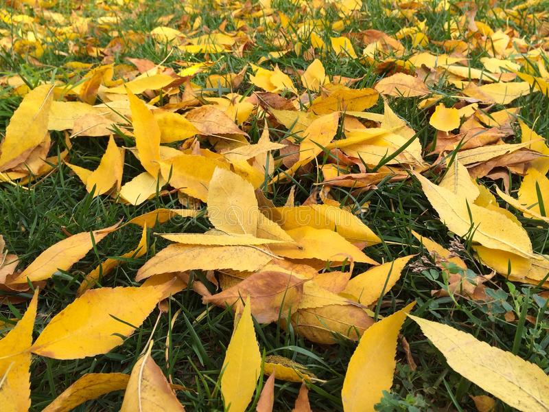 Yellow autumn leaves on grass. Yellow leaves - autumn royalty free stock image