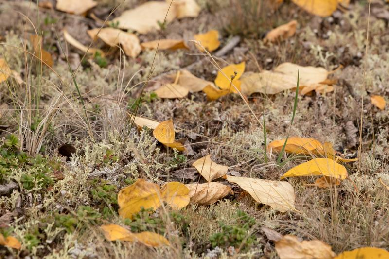 Yellow leaves lie on the ground in the tundra in autumn stock image