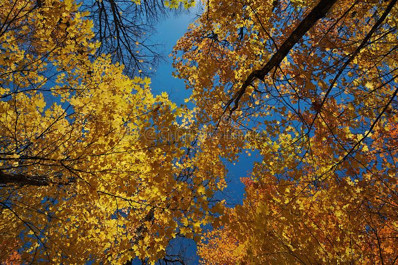 Yellow leaves looking up from the ground royalty free stock photo