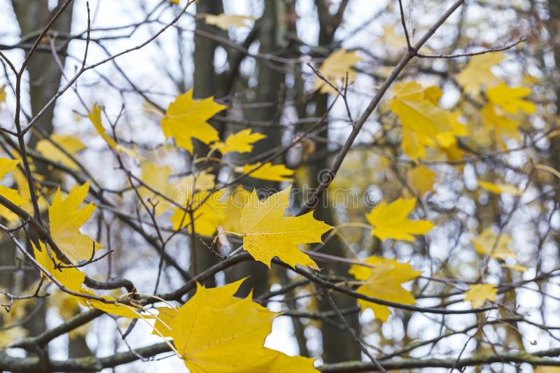 Yellow leaves on maple tree branch. blurred autumn forest backgr. Yellow leaves on maple tree branch. blurred autumn park background stock photos