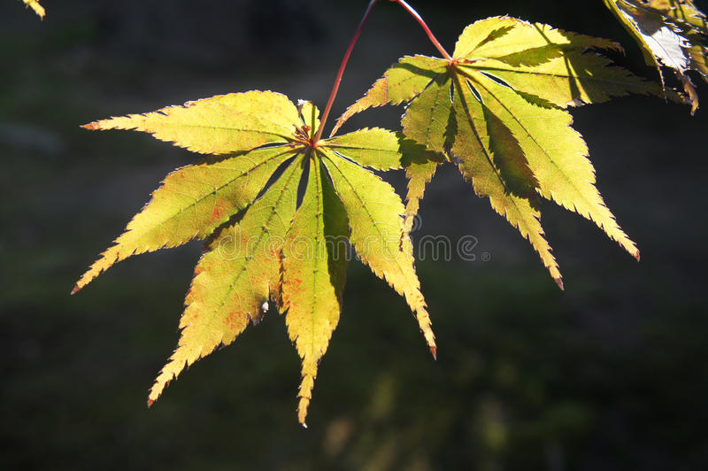 Download Yellow Leaves Of The Maple Trees Stock Photo - Image: 35560334
