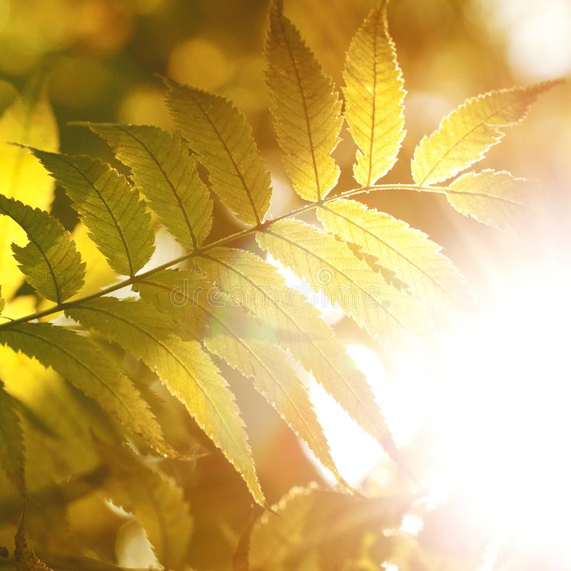Yellow leaves of mountain ash. Yellow autumn leaves of mountain ash in the bright sunlight stock images
