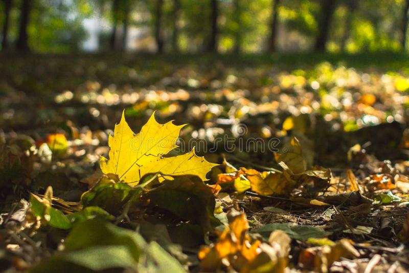 Yellow leaves in the sun light royalty free stock photo