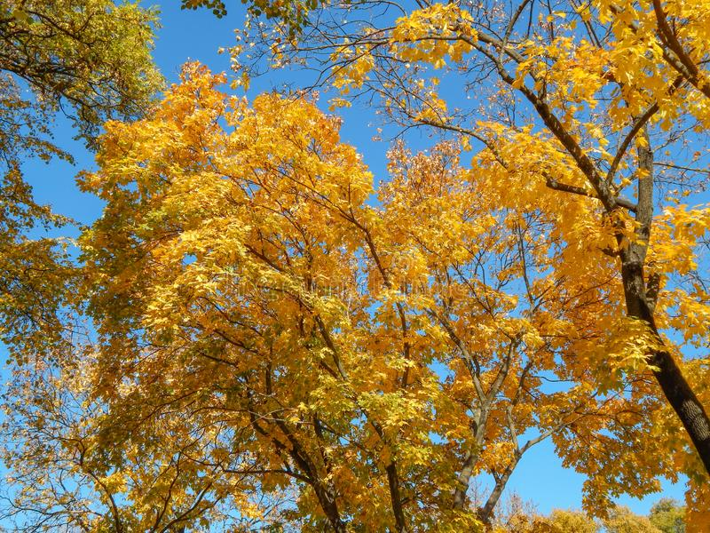 Yellow leaves on a tree in autumn with blue sky stock image