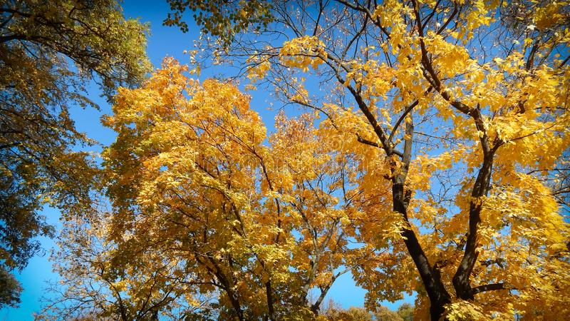 Yellow leaves on a tree in autumn with blue sky royalty free stock image