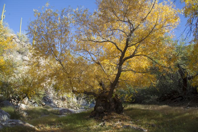 Yellow leaves old cottonwood tree in the fall. Tree in the canyons of the southwest stock photography