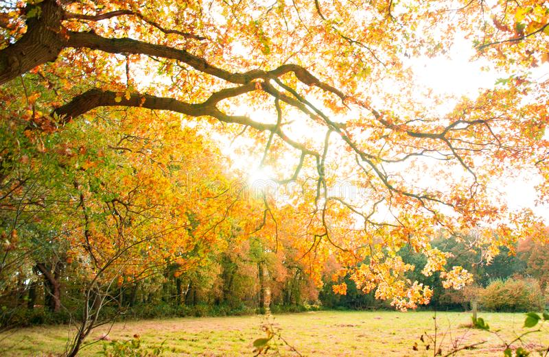 Yellow Leaves Tree on a Park stock photography