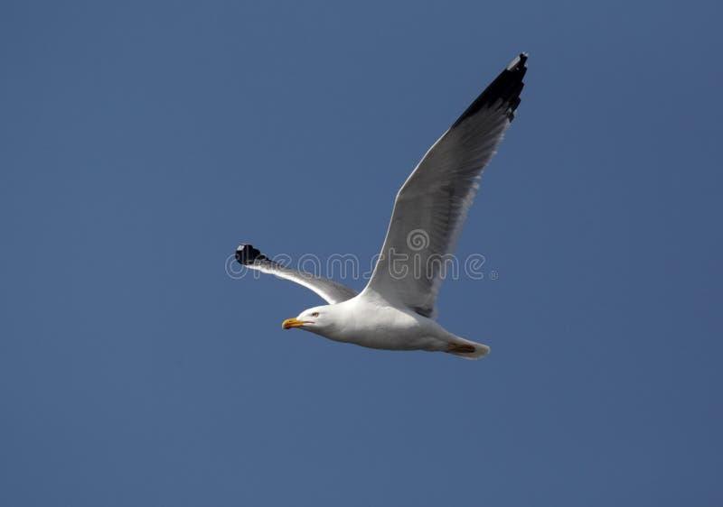 Yellow-legged gull, Larus cachinnans. Single bird in flight against blue sky, Western Spain, April 2010 royalty free stock photography