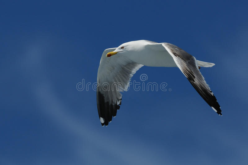 Yellow-Legged Gull (Larus Michahellis). This gull i can photograph on a boat trip royalty free stock images