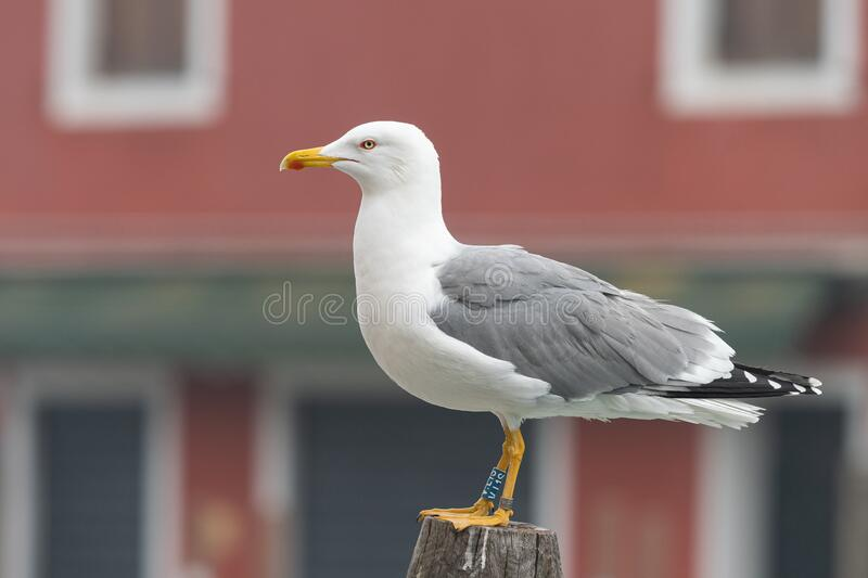A yellow legged gull sitting on a wooden pole. In Venice, Italy royalty free stock images