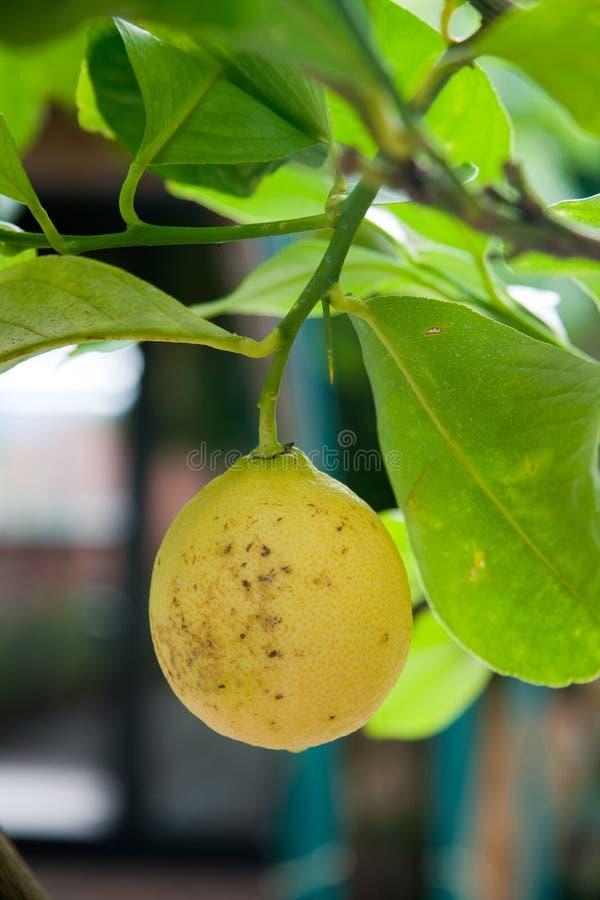 Download Yellow Lemon stock image. Image of nature, tree, lemon - 10328847