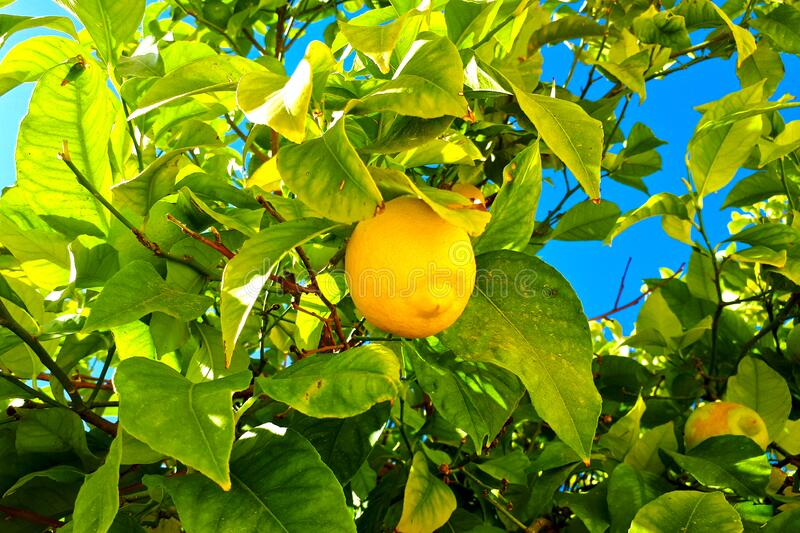 Yellow lemon tree close-up. Tree on a background of blue sky. Healthy eating concept. Yellow lemon on a tree close-up. Tree on a background of blue sky. Healthy royalty free stock photos