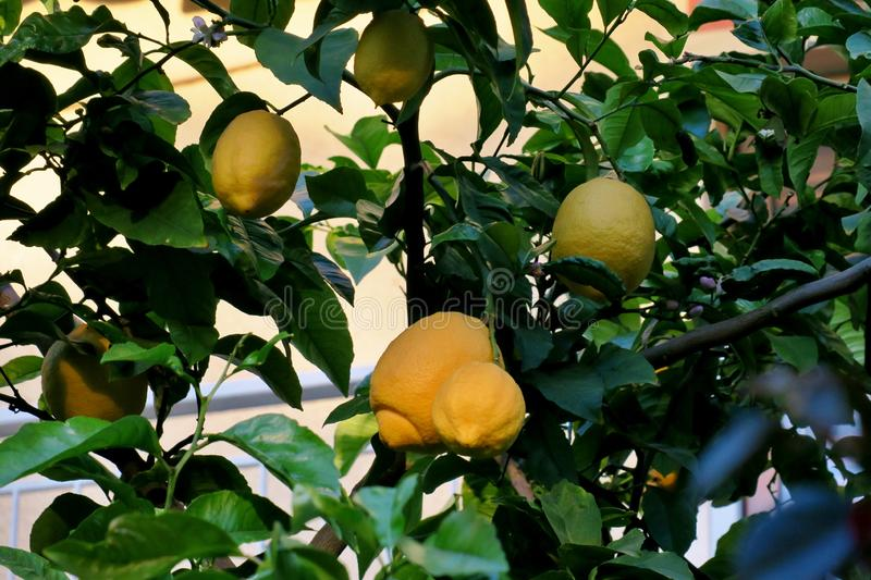 Yellow lemons hanging on a tree in the midst of green leaves stock photo