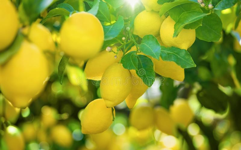 Yellow lemons on lemon tree, bright sun shines through green leaves royalty free stock photography