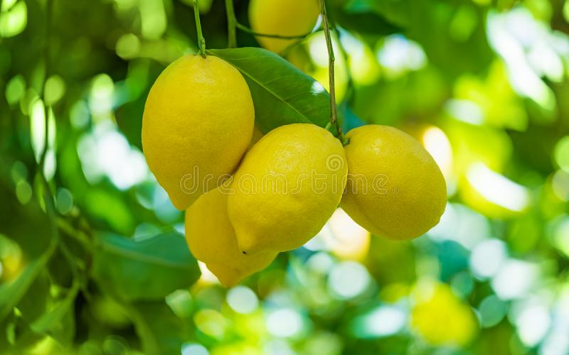 Yellow lemons on lemon tree with green leaves royalty free stock photo