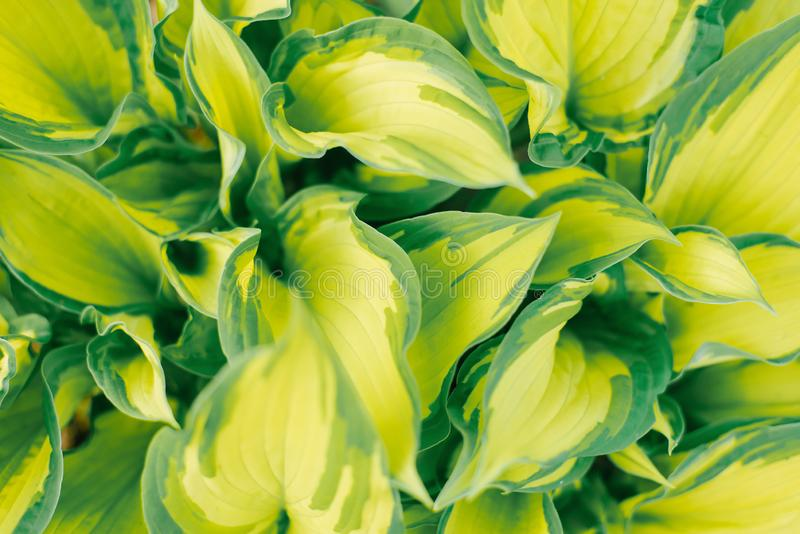 Yellow lettuce green leaf hosts close-up, floral. Background stock photos
