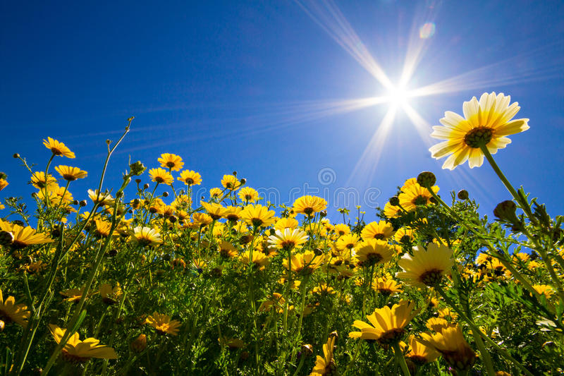 Yellow Leucanthemum under a blue sky stock photo