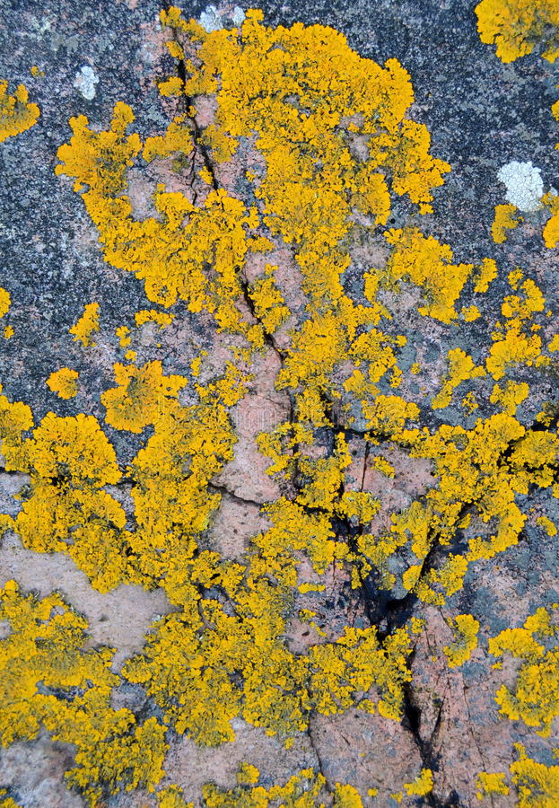 Download Yellow Lichen stock image. Image of crack, flora, grow - 29068867