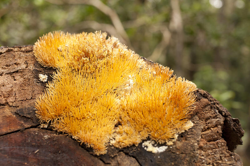 Yellow lichen. Yellow fluffy lichen growing on log surface in forest stock image