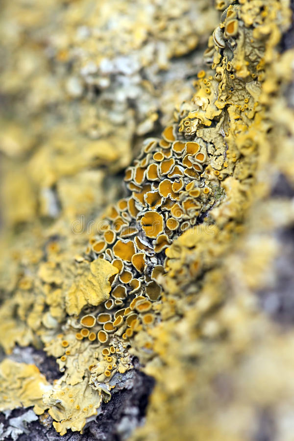 Yellow lichen. On the bark - close up stock image