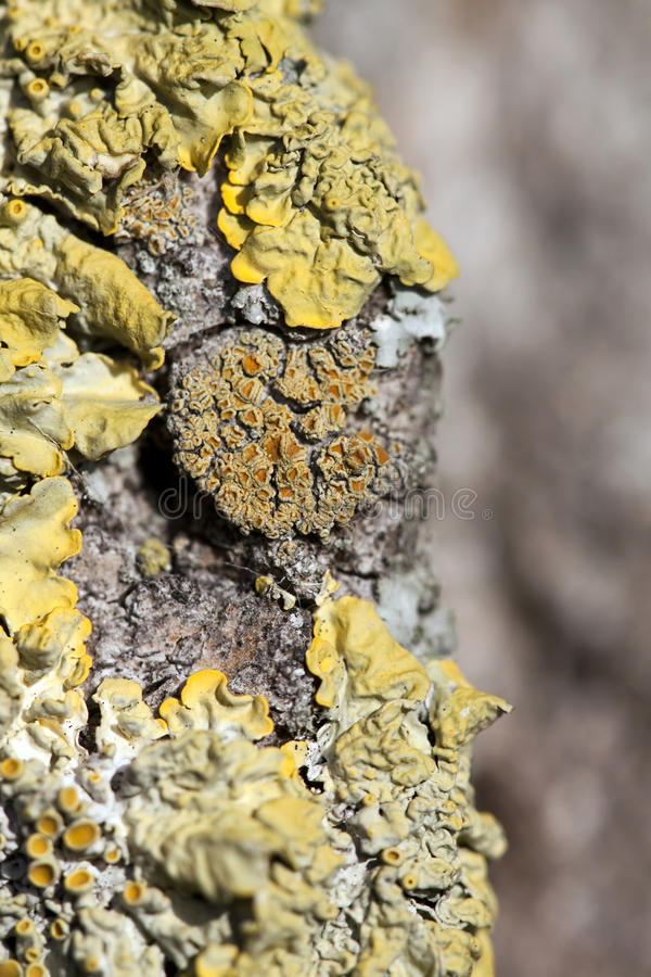 Yellow lichen. On the bark - close up royalty free stock images