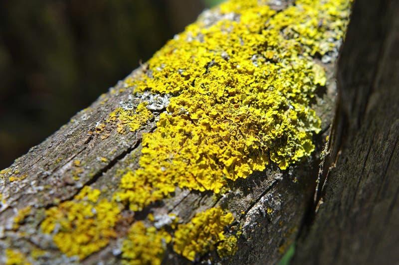Yellow lichen. Close up of yellow lichen (xanthoria parietina) on wooden beam royalty free stock photos