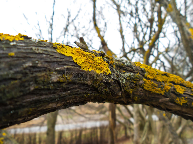 Yellow lichen. Closeup of yellow lichen on a branch in front of a tree with more lichen stock photo
