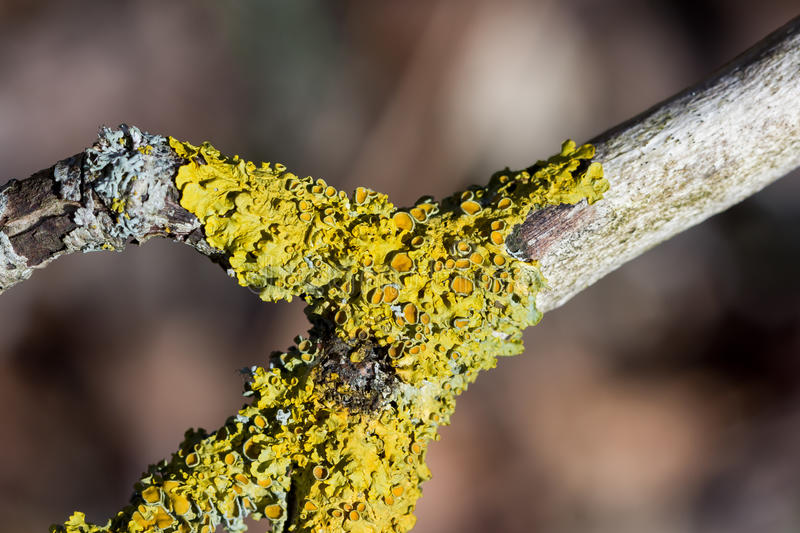 Yellow lichen growing on a tree branch stock images
