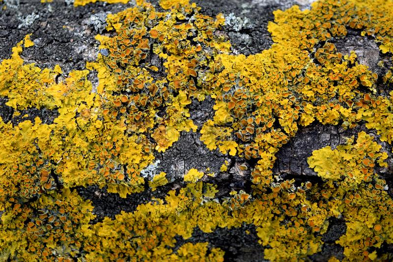 Yellow lichen Lichenes on a tree. Yellow lichen pattern on the crown of a tree close-up, abstract photography royalty free stock photo