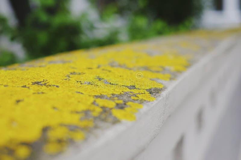 Yellow lichen macro. Closeup, yellow texture royalty free stock photo