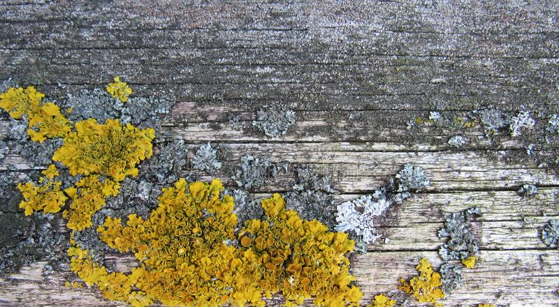 Yellow lichen on the old tree. You can use it for your presentation, ad, advertisement, banner or flyer royalty free stock photo