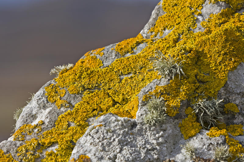 Yellow lichen on stone. In close up shot royalty free stock photo