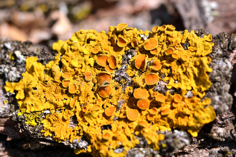 Yellow Lichen. On a tree royalty free stock photography