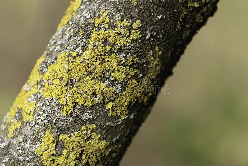 Yellow lichen on a tree branch. In the garden stock image