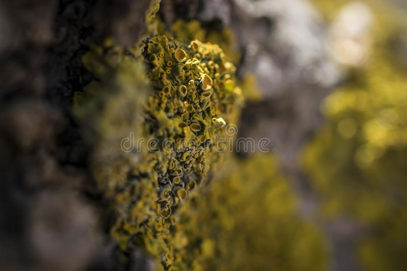 Yellow Lichen on a Tree. A close-up of a branch with a yellow lichen stock images