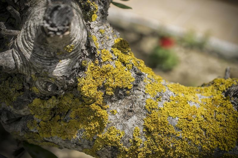 Yellow Lichen on a Tree. A close-up of a branch with a yellow lichen stock photo