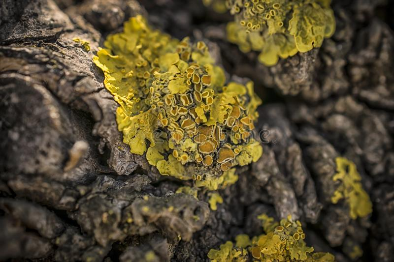 Yellow Lichen on a Tree. A macro shot of yellow lichen on a tree stock images