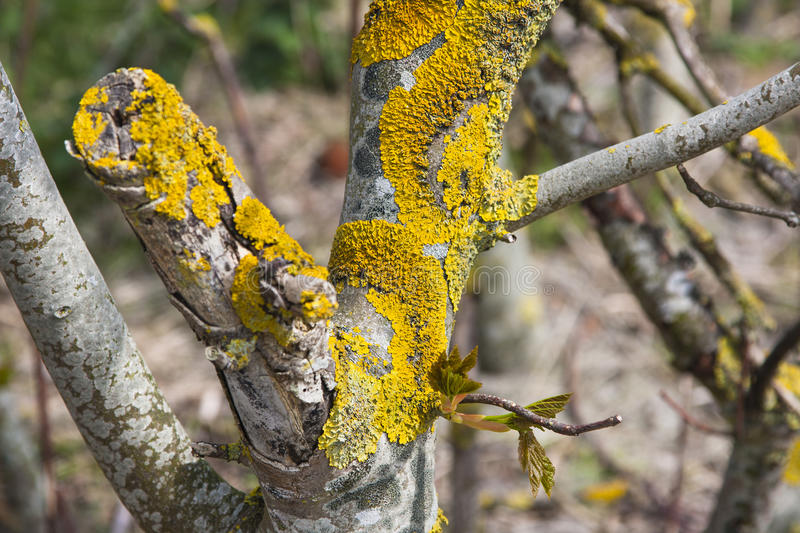 Yellow Lichen On Tree. Yellow lichen and some fresh leafs on a tree trunk stock photos