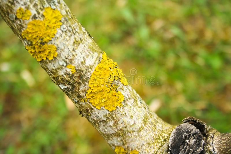 Yellow lichen on a tree. On green background stock photography